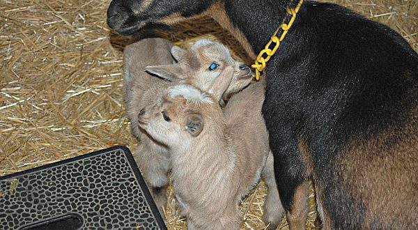 First Baby Nigerian Dwarf Goats of 2017